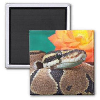 Ball Python, green background, orange rose magnet