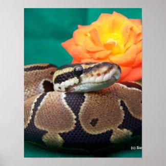 Ball Python, green background, orange rose Poster