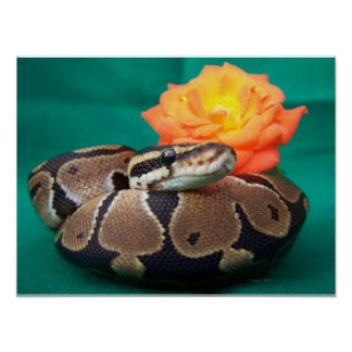 Ball python picture with orange rose green back poster