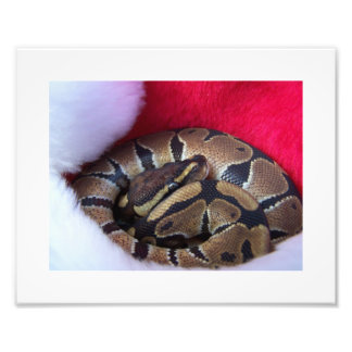 Ball Python Snake in Santa hat picture Photo