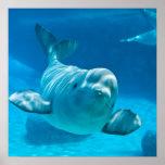 Ballena de la beluga póster