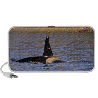 Ballena de la orca o de asesino altavoz