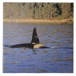 Ballena de la orca o de asesino azulejos cerámicos