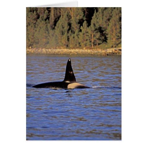 Ballena de la orca o de asesino felicitacion