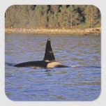 Ballena de la orca o de asesino colcomanias cuadradass