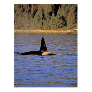 Ballena de la orca o de asesino tarjeta postal