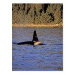 Ballena de la orca o de asesino tarjetas postales