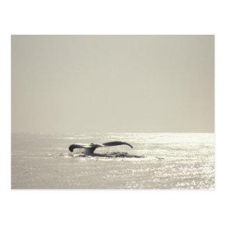 Ballena jorobada, cola sobre superficie del agua postal