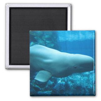 Ballena juguetona linda de la beluga en acuario en imán cuadrado