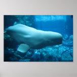 Ballena juguetona linda de la beluga en acuario en poster