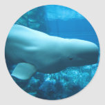 Ballena juguetona linda de la beluga en acuario en pegatina redonda