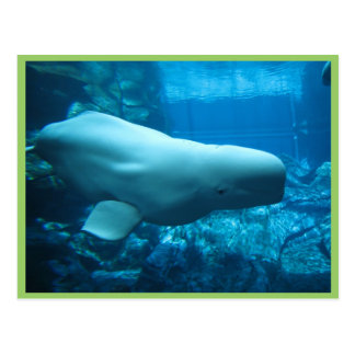Ballena juguetona linda de la beluga en acuario en postales