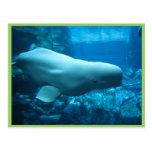Ballena juguetona linda de la beluga en acuario en tarjetas postales