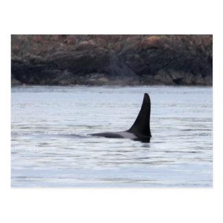 Ballena: Orca residente de la ballena de la orca Tarjetas Postales
