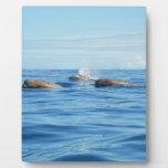 Ballenas de Bottlenose de Atlántico Norte Placas Con Fotos