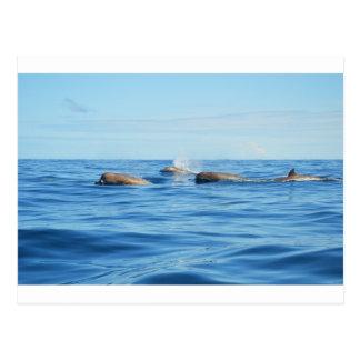 Ballenas de Bottlenose de Atlántico Norte Tarjetas Postales