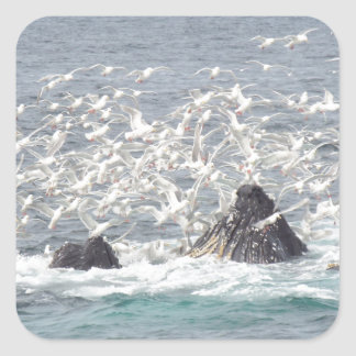 Ballenas jorobadas, gaviotas en Seward, Alaska Pegatina Cuadrada