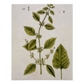 Balm, plate 27 from 'A Curious Herbal', published Poster