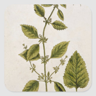 Balm, plate 27 from 'A Curious Herbal', published Square Sticker
