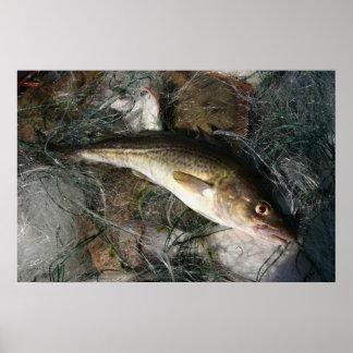 Baltic sea cod. poster