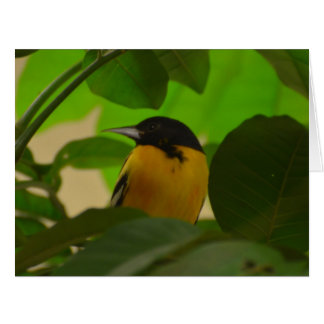 Baltimore Oriole Greeting Cards