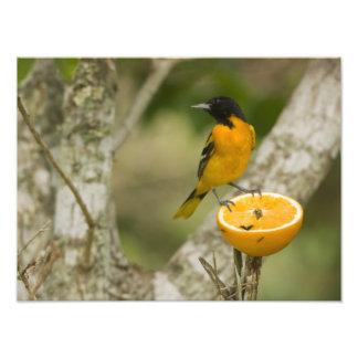 Baltimore Oriole feeding on orange, Icterus Photographic Print