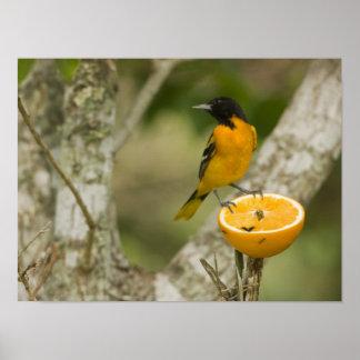 Baltimore Oriole feeding on orange, Icterus Poster