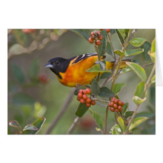 Baltimore Oriole Icterus galbula) adult male Greeting Cards