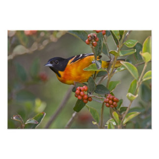 Baltimore Oriole Icterus galbula) adult male Poster