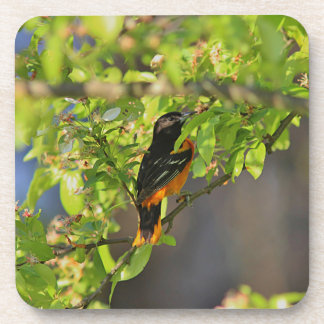 Baltimore Oriole in the Spring Drink Coaster