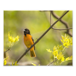 Baltimore Oriole in Tree During Spring Photo Print