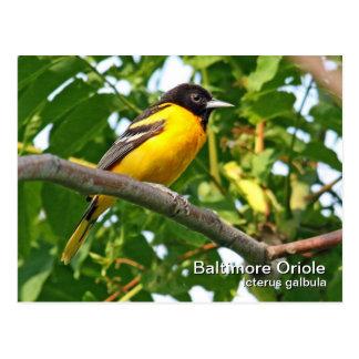 Baltimore Oriole Postcard