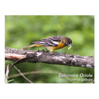 Baltimore Oriole Post Cards