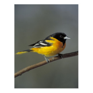 baltimore oriole postcard