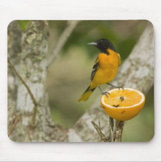 Baltimore Oriole que alimenta en el naranja, Icter Tapetes De Raton