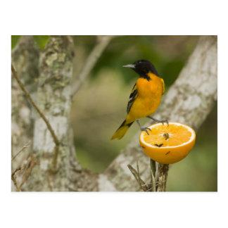 Baltimore Oriole que alimenta en el naranja, Postal