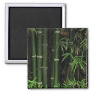 Bamboo ... Fao Rai, Nong Khai, Isaan, Thailand Magnet