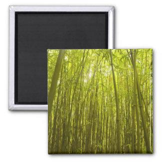 Bamboo Forest near Waikamoi Ridge Trail, North 2 Inch Square Magnet