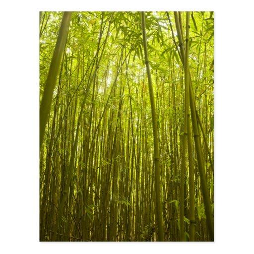 Bamboo Forest near Waikamoi Ridge Trail, North Post Cards