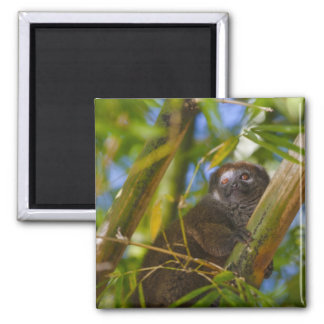 Bamboo lemur in the bamboo forest, Madagascar 2 Inch Square Magnet