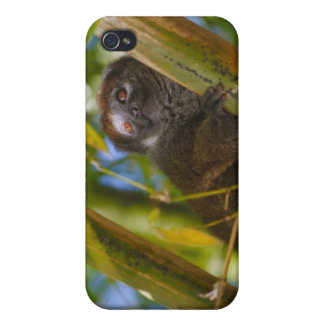 Bamboo lemur in the bamboo forest, Madagascar iPhone 4/4S Case