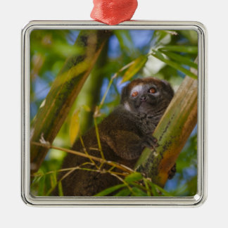 Bamboo lemur in the bamboo forest, Madagascar Square Metal Christmas Ornament