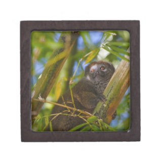 Bamboo lemur in the bamboo forest, Madagascar Premium Jewelry Box