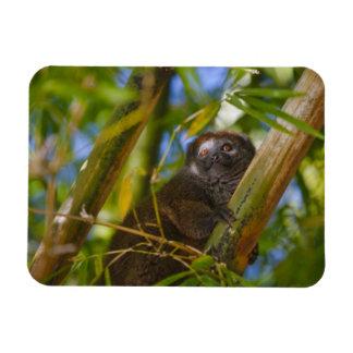 Bamboo lemur in the bamboo forest, Madagascar Rectangular Photo Magnet