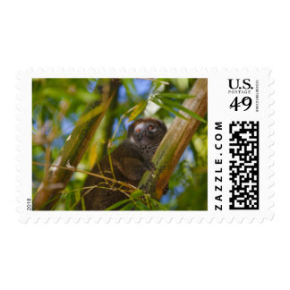 Bamboo lemur in the bamboo forest, Madagascar Stamp