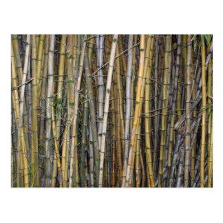 Bambú en Hilo, Hawaii - postal