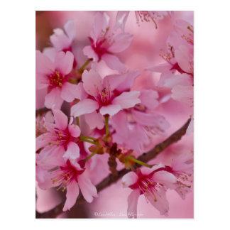 Bañado en flores de cerezo japonesas rosadas postal