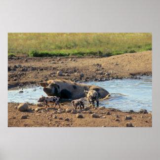 Bañan cerdo de casa con cochinillo en, en la agua  posters