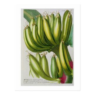Banana, engraved by Johann Jakob Haid (1704-67) pl Postcard