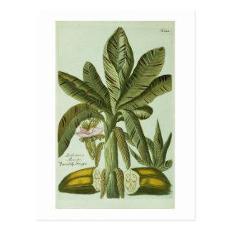 Banana, from J. Weinmann's Phytanthoza Iconographi Postcard